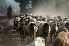 pecore della moltitudine Fotografie Stock