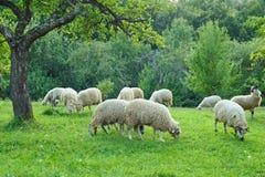 pecore della moltitudine Immagine Stock