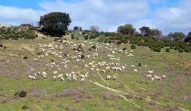 pecore della moltitudine Immagini Stock Libere da Diritti