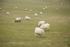 pecore della moltitudine del campo Immagine Stock Libera da Diritti