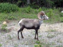 Pecore della mucca texana lungo la strada principale dell'Alaska Fotografia Stock Libera da Diritti