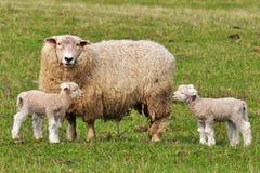 Pecore della mummia ed i suoi agnelli del bambino Fotografia Stock Libera da Diritti