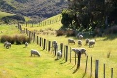 Pecore della Nuova Zelanda Fotografia Stock Libera da Diritti