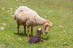 Pecore della pecora con l'agnello neonato Fotografie Stock Libere da Diritti