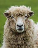 Pecore della pecora della Nuova Zelanda Immagini Stock Libere da Diritti