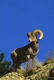 pecore della ram del bighorn Fotografia Stock