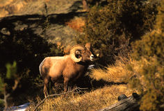 pecore della ram del bighorn Fotografia Stock Libera da Diritti