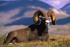 pecore della ram del bighorn Immagine Stock Libera da Diritti