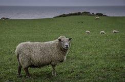 Pecore della Regione dei laghi fotografie stock