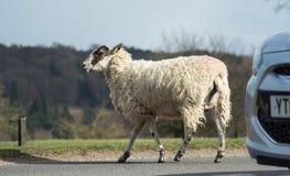 Pecore della strada immagini stock
