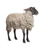 Pecore della Suffolk - (6 anni) Fotografie Stock Libere da Diritti