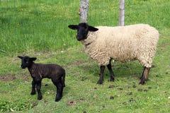 Pecore della Suffolk con l'agnello Fotografia Stock