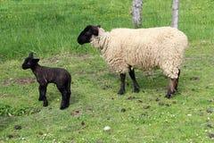 Pecore della Suffolk con l'agnello Fotografia Stock Libera da Diritti