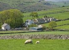 Pecore della valle della fattoria Fotografia Stock