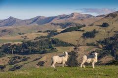 Pecore delle pecore Fotografia Stock