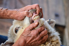Pecore, denti e gomma Immagine Stock