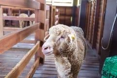 Pecore dentro il granaio immagini stock libere da diritti