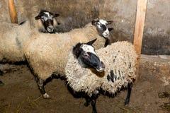 Pecore di allevamento su un'azienda agricola Pecore nel primo piano della penna Fotografie Stock Libere da Diritti