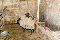 Pecore di allevamento su un'azienda agricola Pecore nel primo piano della penna Fotografia Stock Libera da Diritti