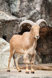 Pecore di Babary Immagini Stock Libere da Diritti