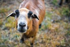Pecore di Barbado Blackbelly Fotografie Stock