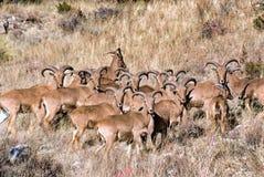 Pecore di Barbary Immagini Stock Libere da Diritti