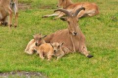 Pecore di Barbary Immagini Stock