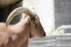 Pecore di Barbary Fotografie Stock Libere da Diritti