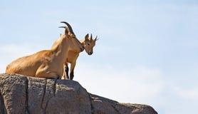 Pecore di Barbary (Aoudad) fotografie stock libere da diritti