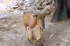 Pecore di Barbary in ZOO fotografie stock libere da diritti
