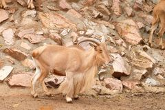 Pecore di Barbary in zoo fotografie stock