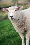 Pecore di belato Fotografia Stock Libera da Diritti