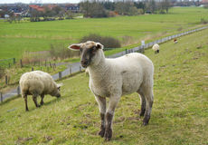Pecore di belato Fotografie Stock