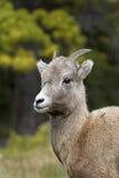Pecore di Bighorn Immagine Stock