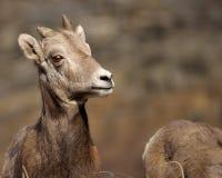 Pecore di BigHorn Immagini Stock Libere da Diritti