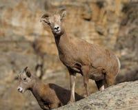 Pecore di BigHorn Fotografia Stock