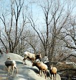 Pecore di Bighorn Fotografie Stock
