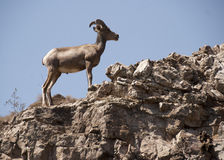 Pecore di Bighorn del deserto Fotografia Stock