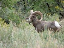 Pecore di Bighorn del deserto nel sud-ovest Utah Immagine Stock Libera da Diritti