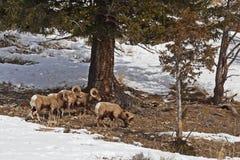 Pecore di Bighorn della montagna rocciosa Fotografia Stock