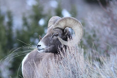 Pecore di Bighorn della montagna rocciosa Immagini Stock Libere da Diritti