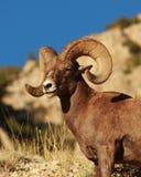 Pecore di Bighorn nel deserto del Wyoming Immagine Stock Libera da Diritti