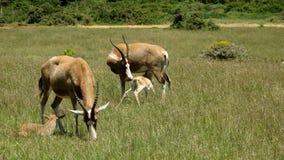 Pecore di Blesbuck con i vitelli fotografia stock