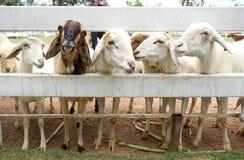 Pecore di Brown fra le pecore bianche Fotografia Stock