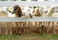 Pecore di Brown fra le pecore bianche Immagini Stock