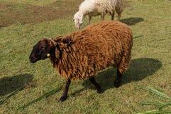 Pecore di Brown su erba Fotografie Stock Libere da Diritti