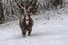 Pecore di Brown sulla neve immagini stock libere da diritti