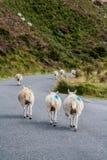 Pecore di camminata Immagini Stock Libere da Diritti
