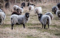 Pecore di camminata fuori, azienda agricola ed industria Fotografie Stock Libere da Diritti