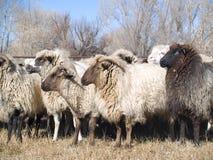 Pecore di Churro Fotografie Stock Libere da Diritti